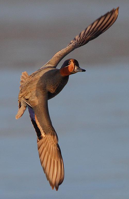 Flickr_-_Rainbirder_-_EurasianTeal_in_flight_(cropped)