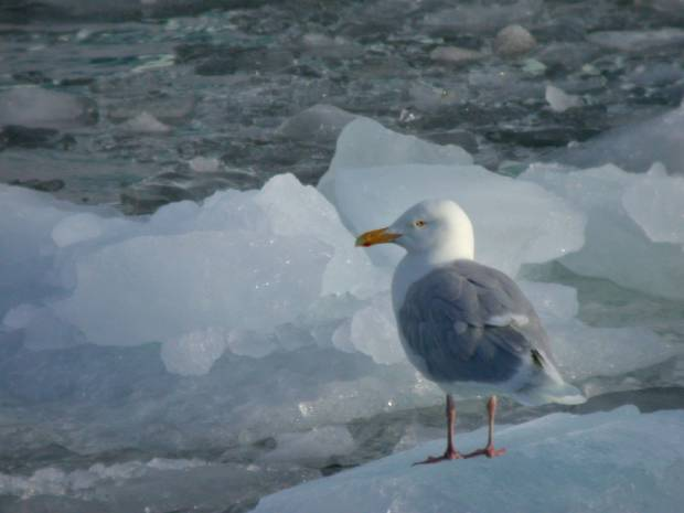 Glacous_Gull_on_ice