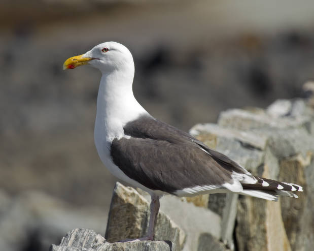 Great_Black-backed_Gull_Larus_marinus